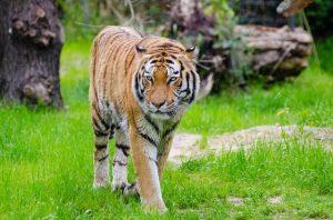 tigre pour agrémenter un t-shirt